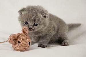 scottish fold munchkin kittens for sale | kitties ...