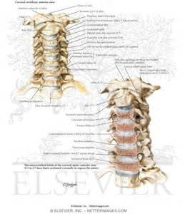 Uncovertebral Joint Hypertrophy Cervical Spine
