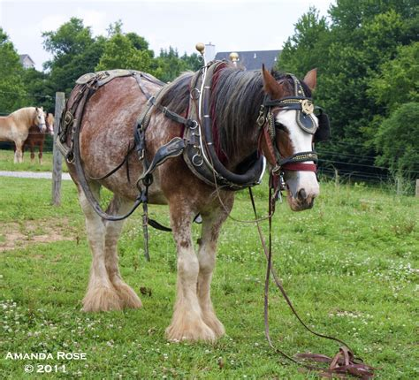 gentle horse draft giants rescue kill could looks