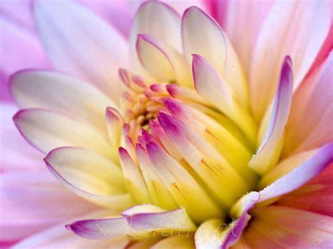 Most beautiful flower hd wallpaper image pictures and free download. Most Beautiful Flower Wallpapers - XciteFun.net