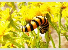 Cinnabar Moth Caterpillars What's That Bug?