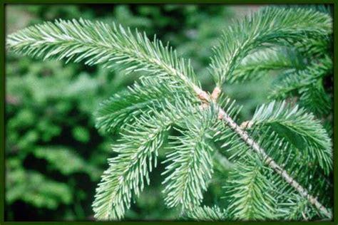 leber trees types