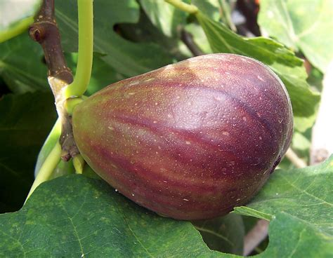 types of figs file fig jpg wikipedia