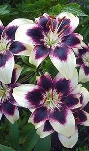 17 Best images about Lily on Pinterest | Flower wallpaper ...