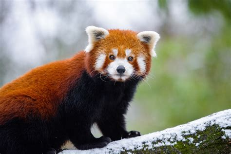 red panda  hd animals  wallpapers images