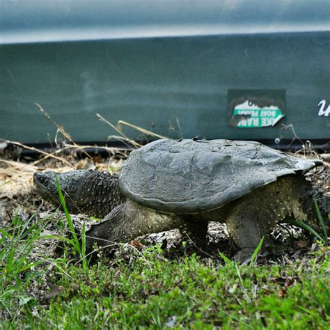 snapping turtle shell shedding south carolina wildlife observations page july 2012