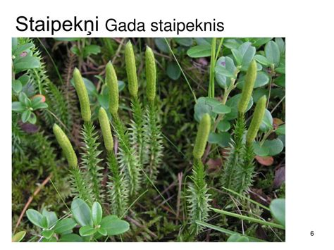 PPT - Augu daudzveidība PowerPoint Presentation, free download - ID:1317210