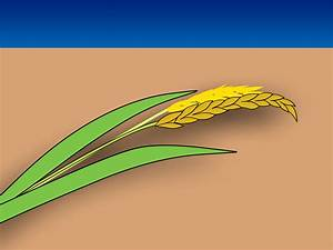 How To Plant Rice Indoors  9 Steps  With Pictures