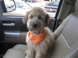 Do Wheaten Terrier Puppies Shed by Whoodle Wheaten Terrier Poodle Mix Info Temperament