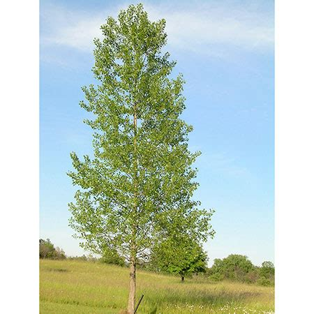 different types of palm plants hybrid poplar trees hybrid poplars for sale fast