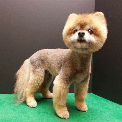pomeranian boo haircut best 28 grooming by kristen images on 4816