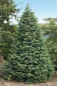 tree farm varieties species availability nordmann fir