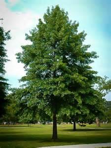 buy oak trees the tree center