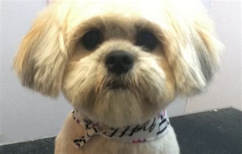 shih tzu dogs hair cut