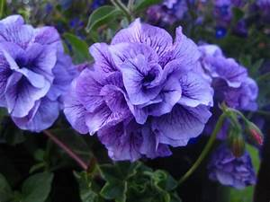 Pretty Purple Flowers – savingourboys.info