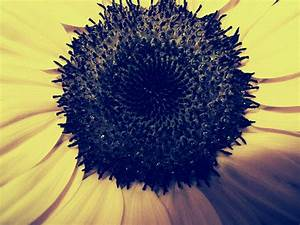 Sunflowers Wallpaper Vintage