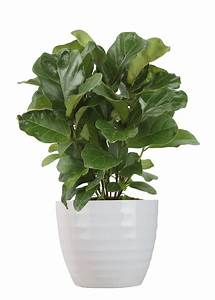Delray, Plants, Live, 18-inches, Tall, Ficus, Lyrata, -, Fiddle, Leaf, Fig
