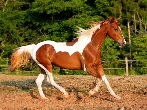 horse paint american chestnut horses pinto brown characteristics meet temperament history caballos breed animals hd el trotting pantalla coat fondos