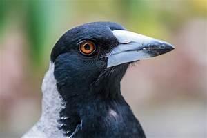 Elster Vogel Vertreiben : v gel 2 learnattack ~ Lizthompson.info Haus und Dekorationen