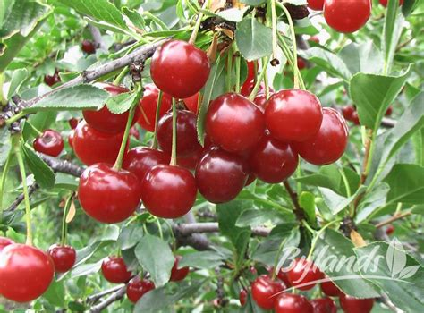 cherry shrub varieties valentine dwarf cherry prunus x kerrasis valentine bylands nurseries ltd