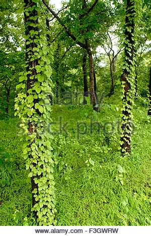In Monsoon Climbing Plants Climb On Tree Trunks In The