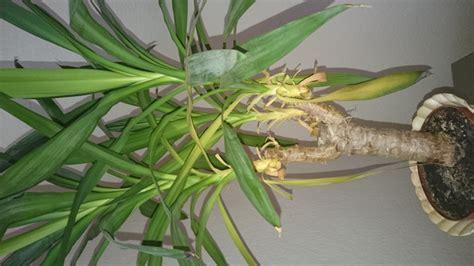 hortensien blätter werden braun bl 228 tter werden gelb dann braun yuccapalme pflanzenpflege
