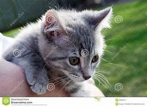 Grey Striped Baby Kitten Royalty Free Stock Photography ...