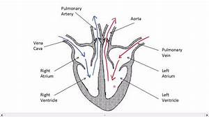Male reproductive system diagram ks2 gallery how to guide and refrence diagram of the heart gcse gallery how to guide and refrence ccuart Choice Image