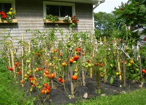 gardening tomatoes picture of garden tomatoes png