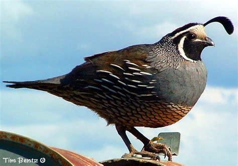 quail animal wildlife