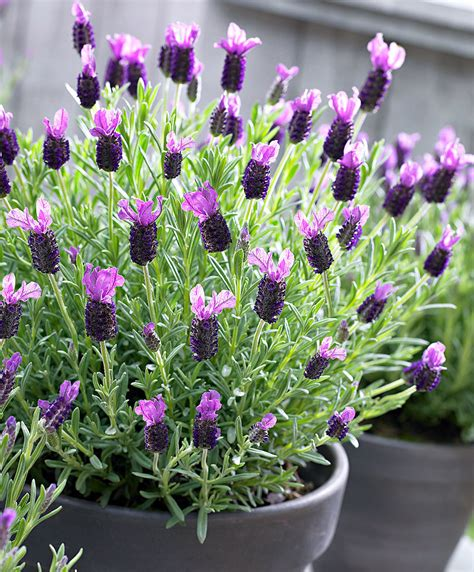 buy hardy perennials now lavender papillon