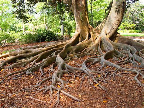 large ficus tree ficus tree roots photograph by leontine vandermeer 3651