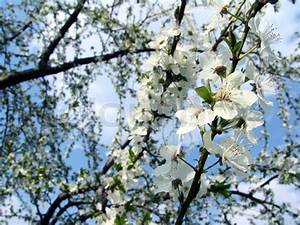 Schöne Bäume Für Garten : der fr hling sch ne bl hende b ume zweige stockfoto colourbox ~ Eleganceandgraceweddings.com Haus und Dekorationen