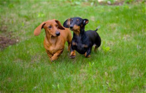 list   lap dog breeds dogbreedscom