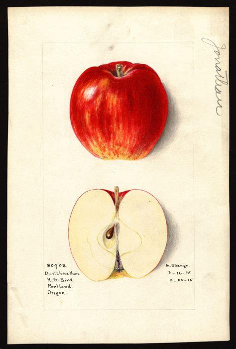 gallery  time apple varieties   northwest