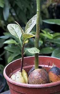 Avocado Pflanze Richtig Schneiden : avocado persea americana anzucht pflege und kultur ~ Lizthompson.info Haus und Dekorationen