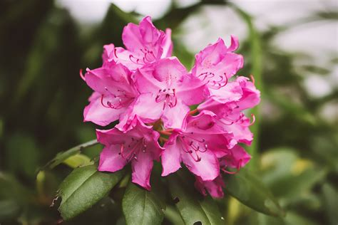 rhododendron planting tips rhododendron care and growing tips old farmer s almanac