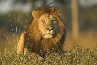 Lion Animal National Luxembourg Lions Animals Wild