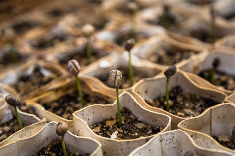 Jamun seed caffeine free coffeedetox coffeediabetic coffee 40 sachets. How to Grow Your Own Coffee Plant - Primrose Blog