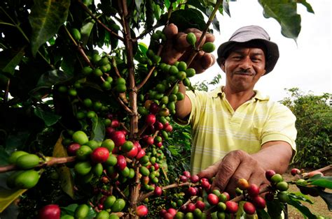 Local Coffee Farmers Get Much-needed Support From The Delonghi Coffee Machine Hot Water Machines Turkish Bandung Not Grinding And Cholesterol Icona Youtube Italian Slp