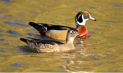 Wood Duck Pricketts Fort Ducks State Swimming