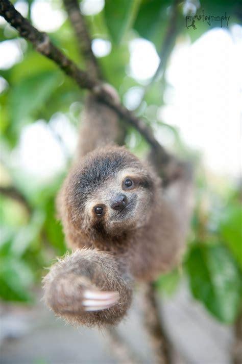 sloth institute adopt  sloth  costa rica