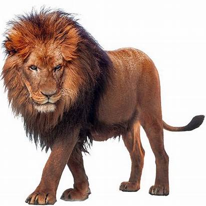 Lion African Transparent Clipart Lions Walking Angry
