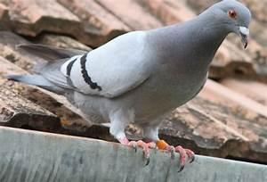 Comment Se Débarrasser Des Souris Dans Les Murs : les pigeons s 39 en d barrasser tout pratique ~ Melissatoandfro.com Idées de Décoration