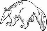Anteater Coloring Pages Drawing Aardvark Pangolin Clipart Cliparts Giant Printable Clip Template Animals Supercoloring Bushy Royalty Sketch Animal Getcoloringpages Getdrawings sketch template