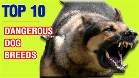 Top 10 Most Dangerous Dog Breeds Top Animals Collection
