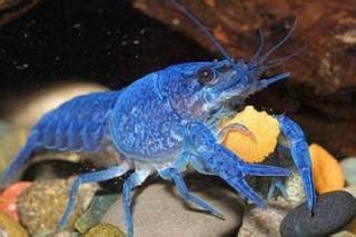 poisson lac tanganyika aquarium lac tanganyika