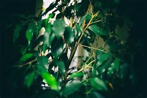 Ficus Benjamini Verliert Alle Blätter : ficus benjamini verliert bl tter daran kann 39 s liegen ~ Lizthompson.info Haus und Dekorationen