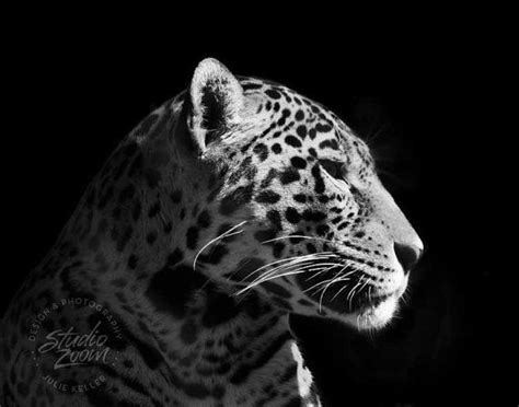 stunning  fierce jaguar  black  white adorable