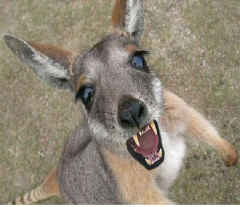 pet wallaby pet wallaby